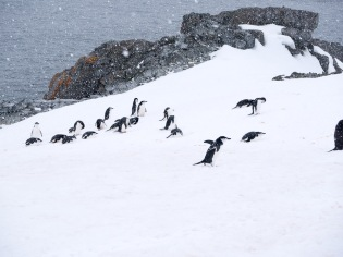 Chinstrap Penguins in typical spring weather.